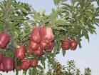 Flowercow Apple(Red Delicious Apple)