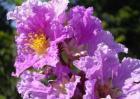 Banaba Leaf Extract Corosolic Acid