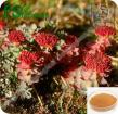 Extracto Salidroside de Rhodiola Rosea del &Koshor de Natual