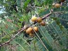 Embelica Officinalis (Amla)