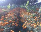 Mg5 Marigold Hybrid Seeds