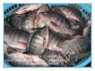 Fishery Tilapia
