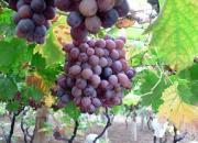 GrapeSeedExtract