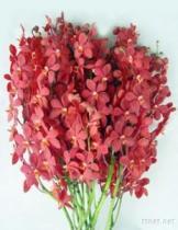 신선한 커트 난초 꽃, Dendrobium Sonia