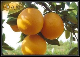 Delicious Navel Orange