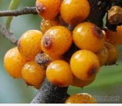 SeaBuckthorn 과일 추출물