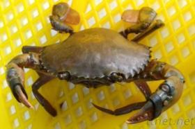 Gummiband des Hummer-A48 u. der Krabbe