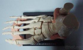 Medical Feet Model