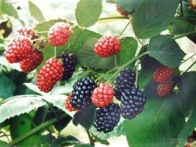 Mulberry Extract- Anthocyanin