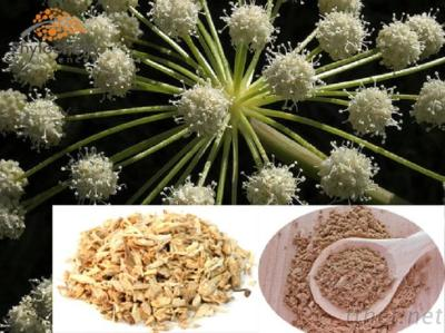 Angelica Extract For Health Food Supplements