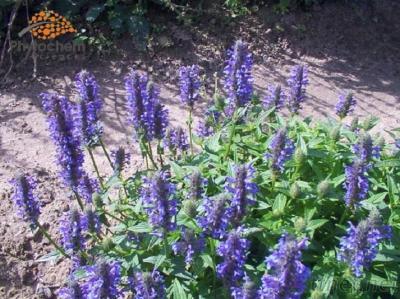 High Quality Herba Schizonepetae Extract Powder 10 to 1