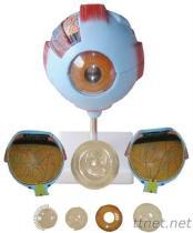 Anatomie-Form des Augen-3D