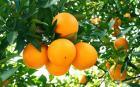 宜昌臍橙,宜昌鮮果,新鮮柑橘