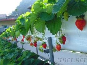 草莓布(高架草莓)