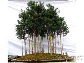 森林英姿(雀舌羅漢松)盆栽