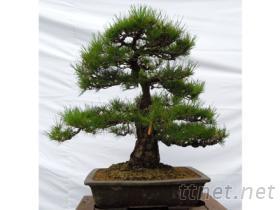 日本黑松盆栽