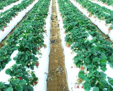 銀黑布, 草莓布, 農用膜