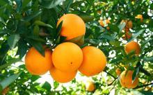 宜昌脐橙,宜昌鲜果,新鲜柑橘