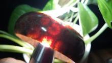 珊瑚玉, 珊瑚玉手鐲, 珊瑚玉掛墜, 菊花玉
