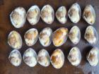 Frozen Boiled Short Necked Clam Meat, Baby Clam Meat
