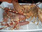 Live Spiny Lobster